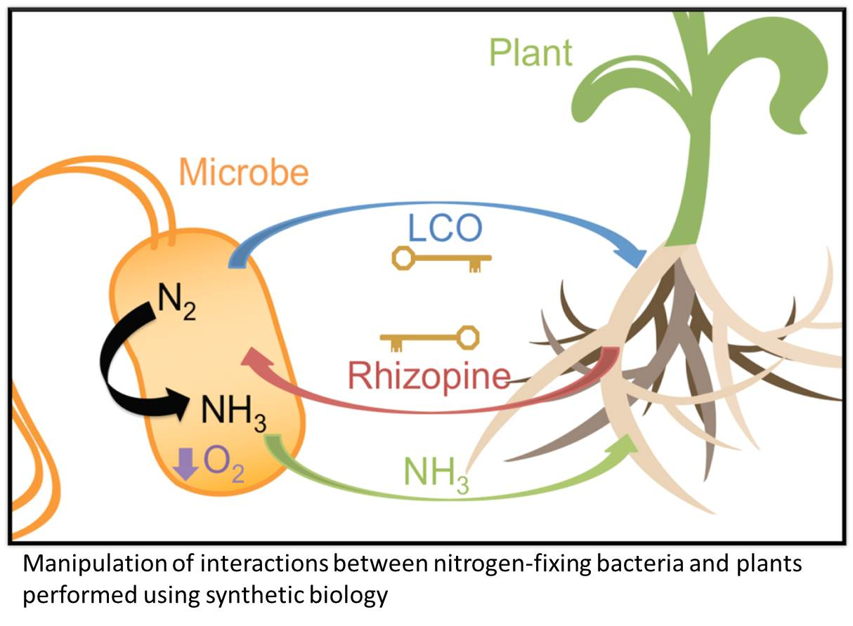 What Are Nitrogen Fixing Bacteria >> Engineering Synthetic Symbioses Rhizosphere
